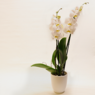 White Phalaenopsis - Height ca. 67cm