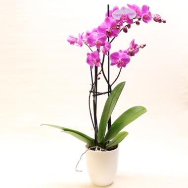 Lilac Phalaenopsis - Height ca. 67cm