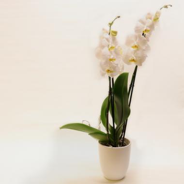 Weiße Phalaenopsis - Höhe ca. 67cm