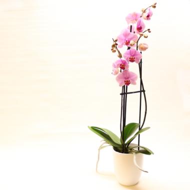 Rosa Phalaenopsis - Höhe ca. 67cm