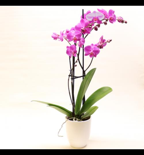 Lila Phalaenopsis - Höhe ca. 67cm