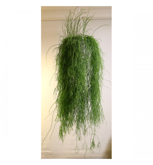 Rhipsalis sp. - 130cm - 40cm